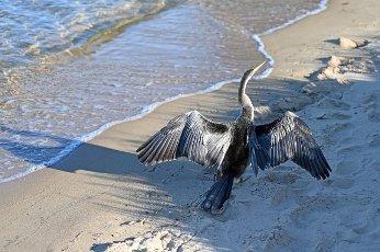 Australian pied cormorant walking on sandy beach in Perth Western
