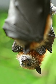 Black flying fox fruit bat (Pteropus alecto) sleeping upside down on a tree in a rain forest