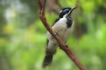 Blue faced honey eater bird full length sitting on a tree branch looking away from camera