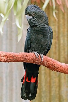 Large male red-tailed black cockatoo (Calyptorhynchus banksii) native to Australia on a tree branch