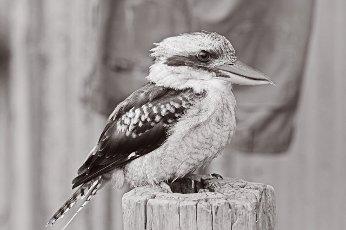 Kookaburra Australian terrestrial tree kingfisher native bird to Australia and New Guinea