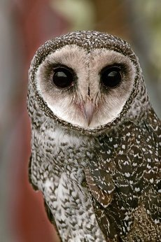 Lesser sooty owl (Tyto multipunctata) portrait an Australian bird of prey that lives in the wet tropics region of Australia