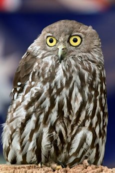 Barking owl (Ninox connivens) bird a nocturnal bird species native to mainland Australia and parts of New Guinea and the Moluccas