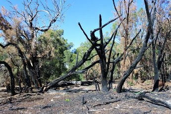 Burnt trees in Australian bush after controlled fire