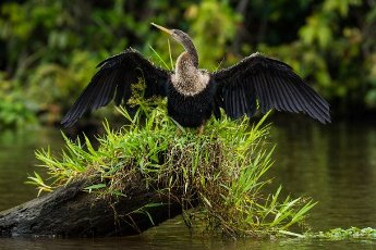 A female Anhinga, Anhinga anhinga, perches on a stump in a river and spreads her wings to dry in Tortuguero National Park, Costa