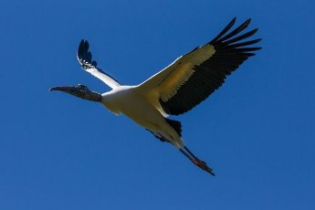 A Wood Stork, Mycteria americana, in flight. St. Augustine, Florida, USA