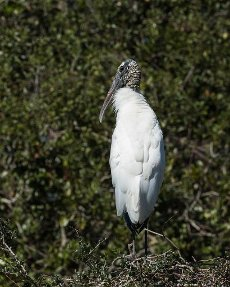 A Wood Stork, Mycteria americana, perched in a tree in St. Augustine, Florida, USA