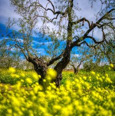 Olive grove in springtime, Seville, Spain