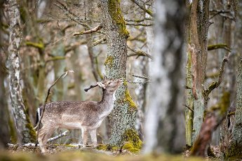 29 March 2021, Brandenburg, Dallgow-Döberitz: For about 10 years fallow deer have been living largely undisturbed by humans in a specially established wilderness core zone of the Döberitzer Heide natural landscape. Photo: Ingolf König-Jablonski\/dpa-Zentralbild\/ZB
