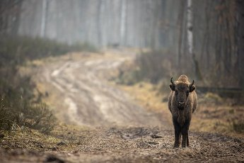 05 February 2021, Brandenburg, Dallgow-Döberitz: For about 10 years bison have been living largely undisturbed by humans in a specially established wilderness core zone of the Döberitzer Heide natural landscape. Photo: Ingolf König-Jablonski\/dpa-Zentralbild\/ZB