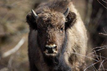 22 March 2021, Brandenburg, Dallgow-Döberitz: For about 10 years bison have been living largely undisturbed by humans in a specially established wilderness core zone of the Döberitzer Heide natural landscape. Photo: Ingolf König-Jablonski\/dpa-Zentralbild\/ZB
