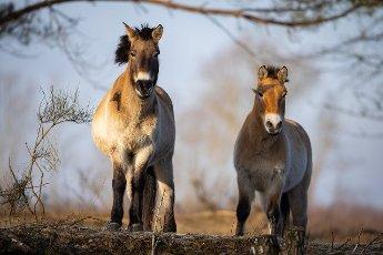 05 March 2021, Brandenburg, Dallgow-Döberitz: For about ten years Przewalski\'s horses have been living largely undisturbed by humans in a specially established wilderness core zone of the Döberitzer Heide natural landscape. Photo: Ingolf König-Jablonski\/dpa-Zentralbild\/ZB