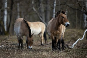 07 April 2021, Brandenburg, Dallgow-Döberitz: For about ten years Przewalski\'s horses have been living largely undisturbed by humans in a specially established wilderness core zone of the Döberitzer Heide natural landscape. Photo: Ingolf König-Jablonski\/dpa-Zentralbild\/ZB