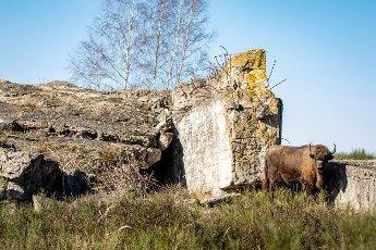08 March 2021, Brandenburg, Dallgow-Döberitz: For about 10 years bison have been living largely undisturbed by humans in a specially established wilderness core zone of the Döberitzer Heide natural landscape. Photo: Ingolf König-Jablonski\/dpa-Zentralbild\/ZB