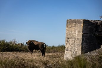 08 March 2021, Brandenburg, Dallgow-Döberitz: For about 10 years bison have been living largely undisturbed by humans in a specially established wilderness core zone of the Döberitzer Heide natural landscape. Photo: Ingolf König-Jablonski\/dpa-Zentralbild\/ZB