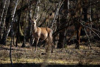 08 March 2021, Brandenburg, Dallgow-Döberitz: For the past 10 years, red deer have been living largely undisturbed by humans in a specially established wilderness core zone of the Döberitzer Heide natural landscape. Photo: Ingolf König-Jablonski\/dpa-Zentralbild\/ZB