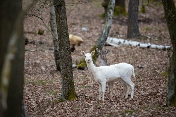 29 March 2021, Brandenburg, Dallgow-Döberitz: For the past 10 years, fallow deer have lived largely undisturbed by humans in a specially established wilderness core zone of the Döberitzer Heide natural landscape. Fallow deer have settled there via natural paths. Photo: Ingolf König-Jablonski\/dpa-Zentralbild\/ZB