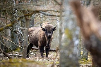 29 March 2021, Brandenburg, Dallgow-Döberitz: For about 10 years bison have been living largely undisturbed by humans in a specially established wilderness core zone of the Döberitzer Heide natural landscape. Photo: Ingolf König-Jablonski\/dpa-Zentralbild\/ZB
