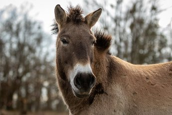 22 March 2021, Brandenburg, Dallgow-Döberitz: For about ten years Przewalski\'s horses have been living largely undisturbed by humans in a specially established wilderness core zone of the Döberitzer Heide natural landscape. Photo: Ingolf König-Jablonski\/dpa-Zentralbild\/ZB