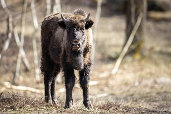 22 March 2021, Brandenburg, Dallgow-Döberitz: For about 10 years bison have been living largely undisturbed by humans in a specially established wilderness core zone of the Döberitzer Heide natural landscape. Photo: Ingolf König-Jablonski\/dpa-Zentralbild\/ZB