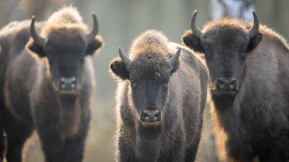 05 February 2021, Brandenburg, Dallgow-Döberitz: For about 10 years bison have been living largely undisturbed by humans in a specially established wilderness core zone of the Döberitzer Heide natural landscape. Photo: Ingolf König-Jablonski\/dpa-Zentralbild\/ZB