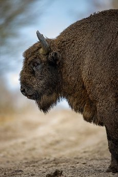 15 March 2021, Brandenburg, Dallgow-Döberitz: For about 10 years bison have been living largely undisturbed by humans in a specially established wilderness core zone of the Döberitzer Heide natural landscape. Photo: Ingolf König-Jablonski\/dpa-Zentralbild\/ZB