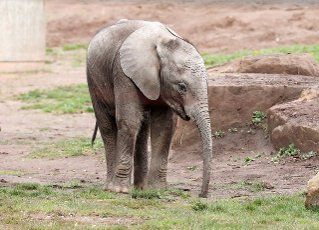 19 April 2021, Thuringia, Erfurt: Baby elephant Ayoka walks through the enclosure at Thüringer Zoopark. A new viewing platform is being created here to provide a view over the elephant enclosure and a view of the city. Photo: Bodo Schackow\/dpa-Zentralbild\/dpa
