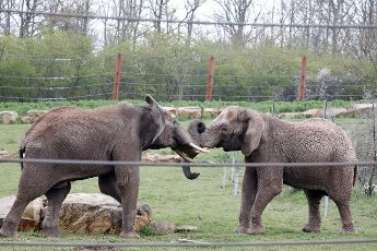 19 April 2021, Thuringia, Erfurt: Bull elephant Kibo and cow elephant Csami play in the enclosure at Thüringer Zoopark. A new viewing platform is being created here to provide a view over the elephant enclosure and a view of the city. Photo: Bodo Schackow\/dpa-Zentralbild\/dpa