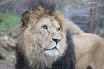 19 April 2021, Thuringia, Erfurt: Lion Aslam stands in the enclosure at Thüringer Zoopark. Photo: Bodo Schackow\/dpa-Zentralbild\/dpa
