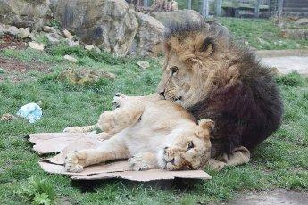 19 April 2021, Thuringia, Erfurt: Lion Aslam and lioness Latika play in the enclosure at Thüringer Zoopark on Latika\'s second birthday. Photo: Bodo Schackow\/dpa-Zentralbild\/dpa