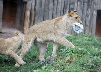 19 April 2021, Thuringia, Erfurt: Lioness Latika plays with a ball in the Thuringian Zoopark on her second birthday. Photo: Bodo Schackow\/dpa-Zentralbild\/dpa