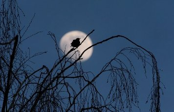 05 April 2020, Bavaria, Bad Wörishofen: A bird sits on the bare branch of a tree in front of the waxing moon. Photo: Karl-Josef Hildenbrand/