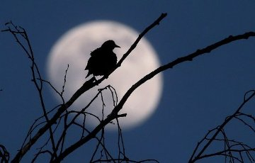 dpatop - 05 April 2020, Bavaria, Bad Wörishofen: A bird sits on the bare branch of a tree in front of the waxing moon. Photo: Karl-Josef Hildenbrand/