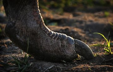 10 April 2020, Bavaria, Rammingen: The foot of an ostrich standing in the pasture on an ostrich farm in the evening sun. Photo: Karl-Josef Hildenbrand/