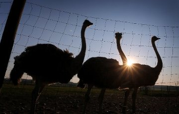 10 April 2020, Bavaria, Rammingen: Ostriches stand on the pasture of an ostrich farm in the evening sun behind a fence. Photo: Karl-Josef Hildenbrand/