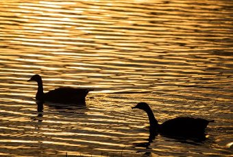 10 April 2020, Bavaria, Breitengüßbach: Two Canada geese swim on the quarry pond of Breitengüßbach which is coloured by the evening light. Photo: Nicolas Armer/