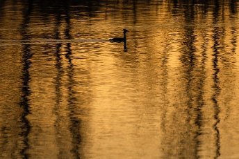 10 April 2020, Bavaria, Breitengüßbach: A great crested grebe swims on the quarry pond of Breitengüßbach, coloured by the evening light. Photo: Nicolas Armer/
