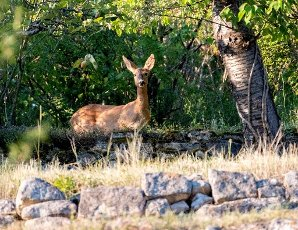 12 July 2020, Baden-Wuerttemberg, Stuttgart: A deer stands in a private garden on the outskirts of the city of Stuttgart. Photo: Bernd Weißbrod