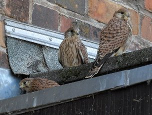 "13 July 2020, Brandenburg, Frankfurt (Oder): Three young kestrels are standing on a roof of an outbuilding of the concert hall ""Carl Philipp Emanuel Bach"". In an opening in the wall in the atrium of the concert hall, a pair of kestrels has raised three young kestrels this year. They have been exploring the surrounding area with first flight attempts for a few days now. Already last year the venerable wall was the birthplace of several young animals. The kestrel prefers high altitude breeding sites. This preference is also the reason for its designation as a wall, cathedral or church falcon. Photo: Patrick Pleul\/dpa-Zentralbild"