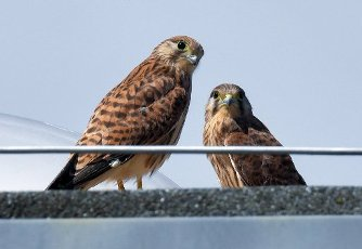"13 July 2020, Brandenburg, Frankfurt (Oder): Two young kestrels are standing on a roof of an outbuilding of the concert hall ""Carl Philipp Emanuel Bach"". In an opening in the wall in the atrium of the concert hall, a pair of kestrels has raised three young kestrels this year. They have been exploring the surrounding area with first flight attempts for a few days now. Already last year the venerable wall was the birthplace of several young animals. The kestrel prefers high altitude breeding sites. This preference is also the reason for its designation as a wall, cathedral or church falcon. Photo: Patrick Pleul\/dpa-Zentralbild"