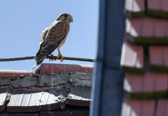 "13 July 2020, Brandenburg, Frankfurt (Oder): A young kestrel is standing on a lightning conductor on the roof of the concert hall ""Carl Philipp Emanuel Bach"". In an opening in the wall in the atrium of the concert hall, a pair of kestrels has raised three young kestrels this year. They have been exploring the surrounding area with first flight attempts for a few days now. Already last year the venerable wall was the birthplace of several young animals. The kestrel prefers high altitude breeding sites. This preference is also the reason for its designation as a wall, cathedral or church falcon. Photo: Patrick Pleul\/dpa-Zentralbild"