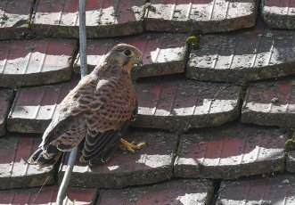"13 July 2020, Brandenburg, Frankfurt (Oder): A young kestrel stands on the roof of the concert hall ""Carl Philipp Emanuel Bach"". In an opening in the wall in the atrium of the concert hall, a pair of kestrels has raised three young kestrels this year. They have been exploring the surrounding area with first flight attempts for a few days now. Already last year the venerable wall was the birthplace of several young animals. The kestrel prefers high altitude breeding sites. This preference is also the reason for its designation as a wall, cathedral or church falcon. Photo: Patrick Pleul\/dpa-Zentralbild"
