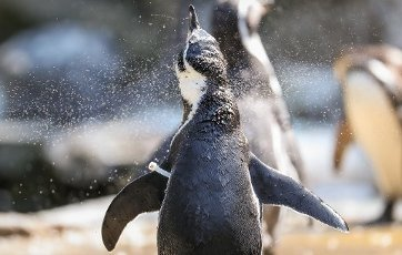 12 August 2020, Lower Saxony, Osnabrück: A Humboldt penguin stands under a water shower in its enclosure and cools down in the high temperatures. Photo: Friso Gentsch\/dpa