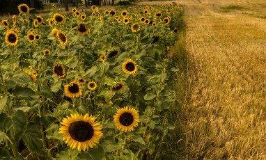 16 August 2020, Brandenburg, Kremmen: Sunflowers stand on a field not far from Kremmen (Brandenburg). (shot with a drone). Photo: Paul Zinken\/dpa-Zentralbild\/ZB