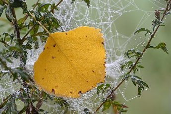01 October 2020, Brandenburg, Sieversdorf: A yellow-coloured leaf of a poplar hangs in the early morning between spider threads in a plant by the roadside in the district (Oder-Spree). Photo: Patrick Pleul\/dpa-Zentralbild\/ZB