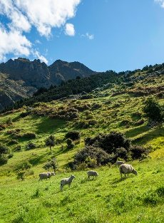 Sheep in a meadow, hiking trail to Isthmus Peak, Wanaka, Otago, South Island, New Zealand