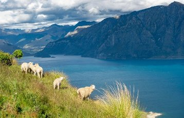 Sheep in a meadow in front of Lake Hawea and mountain panorama, Isthmus Peak Track, Otago, South Island, New Zealand