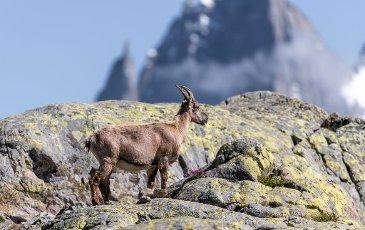 Alpine Ibex (Capra ibex) running on rock, Mont Blanc massif, Chamonix, France