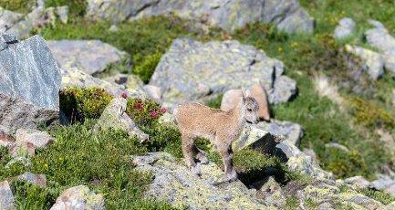 Alpine Ibex (Capra ibex), young running over rocks, Mont Blanc massif, Chamonix, France