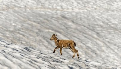 Young alpine ibex (Capra ibex) in the change of coat running over snowfield, Mont Blanc massif, Chamonix, France
